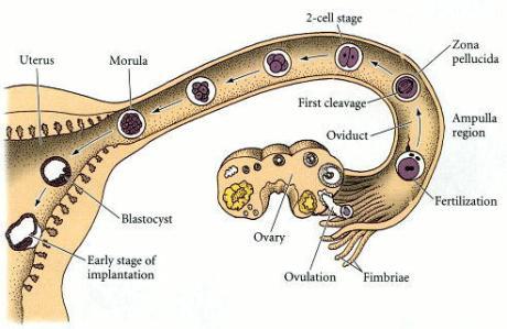 Migrarea embrionului spre uter